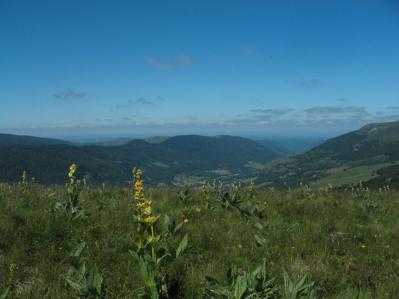 Gentianes, fleurs emblématiques du Cantal